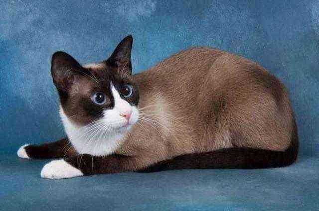 Почему у кошек бывают медальоны и перчатки или Несложная генетика кошек 6 кот, генетика, окрас, биколор, длиннопост